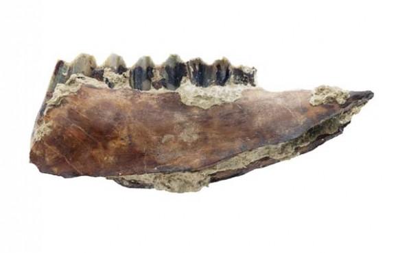 Australopithecus garhi: mandibola di antilope con segni di scarnificazione