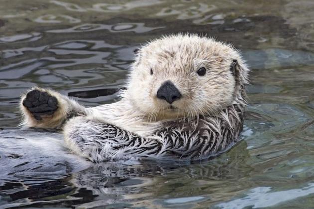 lontra-di-mare