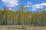 Birch with young leaves on the background of a birch grove in the spring in April