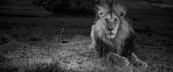 Lions MM7947