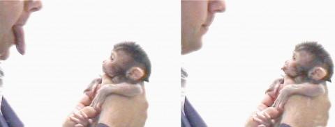 Neuroni specchio in un un piccolo macaco